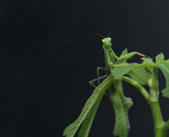 鈴虫 英語 発音 鳴き声