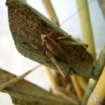 鈴虫と松虫の違いや鳴き声の見分け方について
