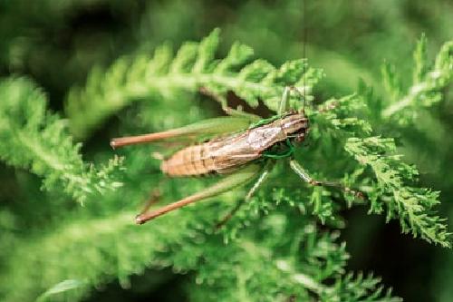 鈴虫 ゴキブリ 仲間 違い