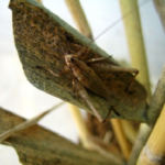 鈴虫と松虫の違いについて