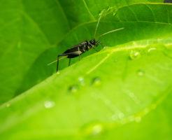 鈴虫 幼虫 餌